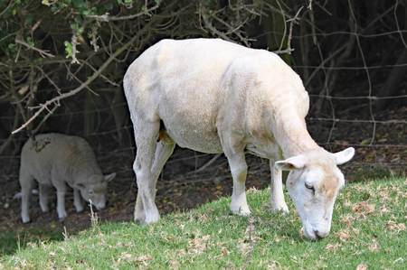 A shorn sheep grazes on the grass in a meadow.