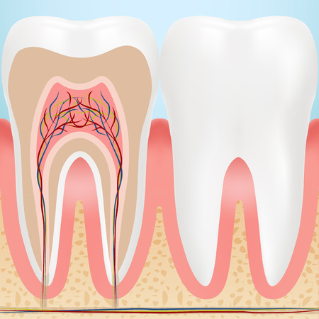 Anatomy Of Healthy Teeth Isolated On A Background. Vector Illustration. Stomatology. Teeth And Tooth Concept Of Dental Illustration