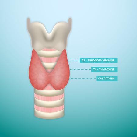 Thyroid Hormone Secretion. Endocrinology System.