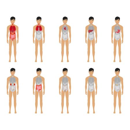 Belangrijkste 12 menselijk mannelijk lichaam orgel systemen plat educatieve anatomie fysiologie vooraanzicht flashcards poster vectorillustratie, eps 10 Vector Illustratie