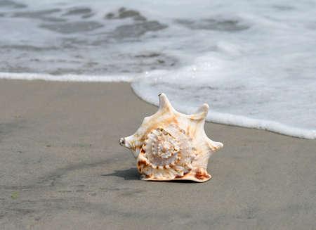 A beautiful giant sea shell at a beach photo