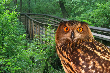 boardwalk trail: A young owl and a walking trail in the Great Swamp Park
