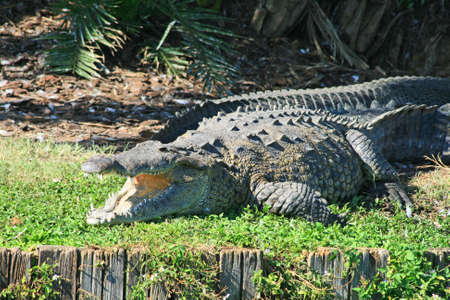 alligator in a park in Florida State photo