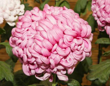 show garden: A Japanese Kiku flower show in a botanical garden. .