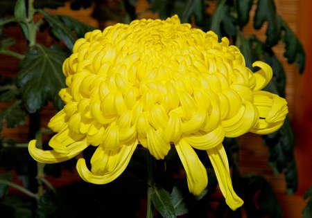 show garden: A Japanese Kiku flower show in a botanical garden.