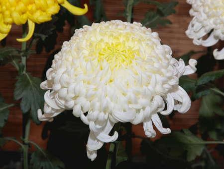 A Japanese Kiku flower show in a botanical garden. Stock Photo - 3817428
