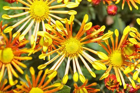 show garden: A Japanese Kiku flower show in a botanical garden. Stock Photo