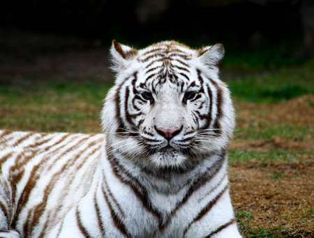 siberian tiger: White tiger closeup in a florida zoo Stock Photo