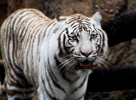 White tiger closeup in a florida zoo photo