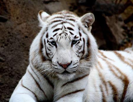 White tiger closeup in a florida zoo Stock Photo