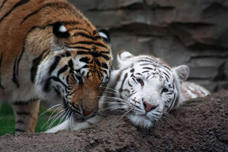 Two tigers are palying in a florida zoo Stock Photo