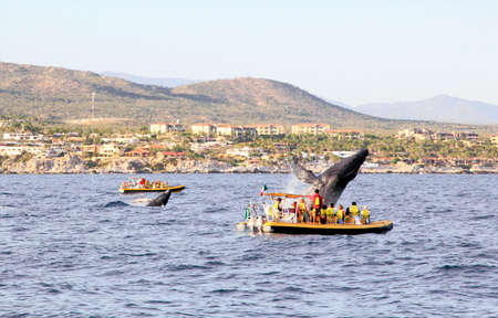 mama and baby whales in Pacific Ocean near Cabo San Lucas      photo