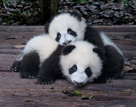 Baby Giant Pandas Playful and adorable at a zoo Banque d'images