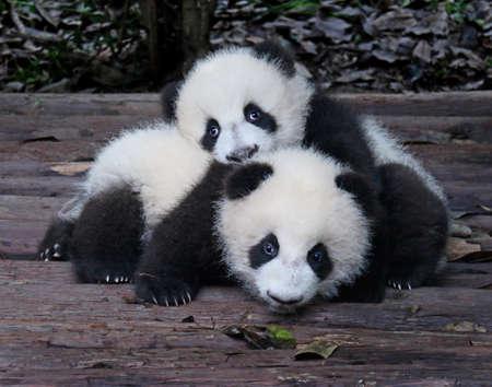 Baby Giant Pandas Juguetones y adorables en un zoológico Foto de archivo