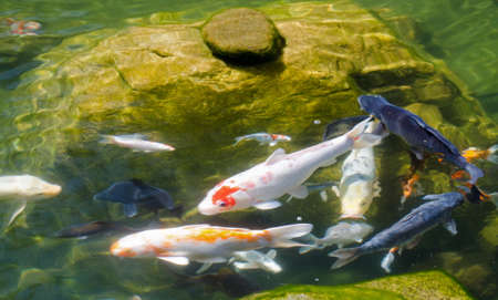 koi pond: Koi Pond Stock Photo