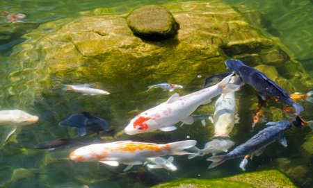 koi fish pond: Koi Pond Stock Photo
