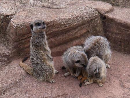 at meerkat: Meerkat Group Stock Photo