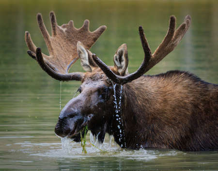 Bull Moose eating grass in a northern Colorado Lake Stockfoto