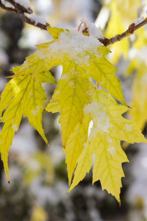 Snow Covered Maple Leaves - Colorado Rocky Mountain Scenic Beauty
