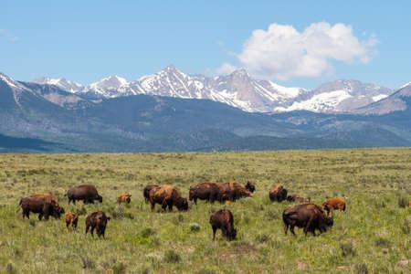 American Bison graze on the open range in Colorado.