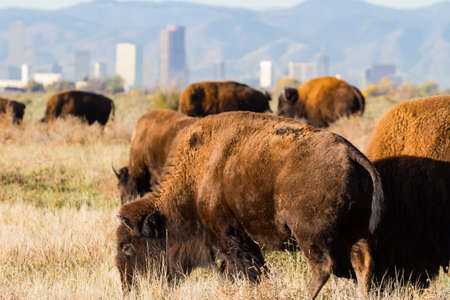Genetically Pure Wild Bison in Colorado With The City of Denver in the Background