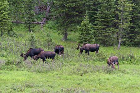 Colorado Rocky Mountains - Shiras Moose in the Wild 免版税图像