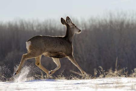 Wildlife of Colorado. Wild Deer in Their Natural Environment in Colorado. Banque d'images