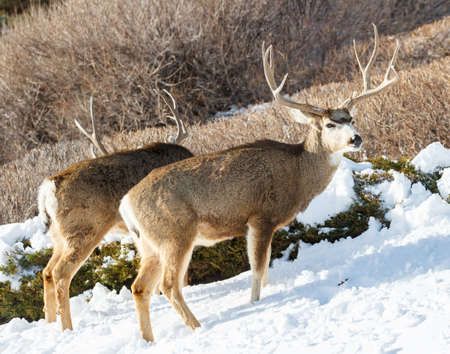 Wildlife of Colorado. Wild Deer in Their Natural Environment in Colorado. Stock Photo
