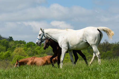 Thoroughbred horses in a bluegrass field. 写真素材
