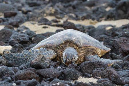 Resting Sea Turtle on the Hawaii Coast 免版税图像