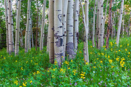 Aspen Trees and Wildflowers in the Colorado Rocky Mountains Stockfoto