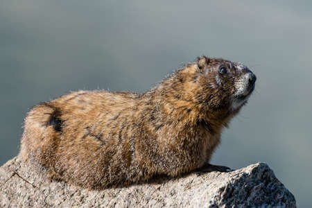 Marmots are common in the Rocky Mountains and are very sociable animals. They are related to squirrels.