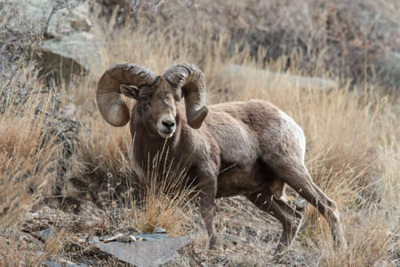 Wild Bighorn Sheep in the Rocky Mountains of Colorado. Stok Fotoğraf - 140872606
