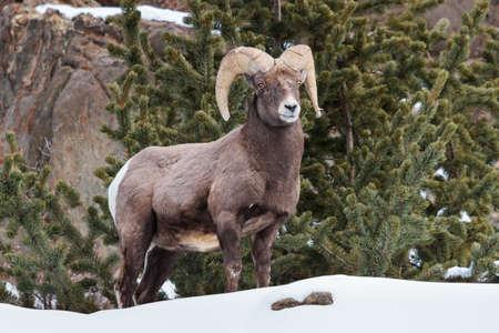 Bighorn Sheep in the Rocky Mountains of Colorado. Stockfoto