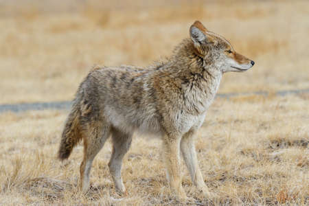 Wild Coyote in the Rocky Mountains of Colorado Standard-Bild