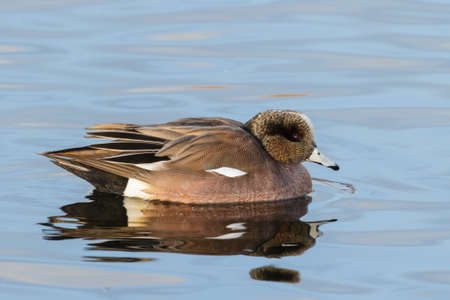 American Wigeon Female Duck in a Calm Lake. Archivio Fotografico