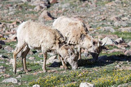 Wild Bighorn Sheep in the Rocky Mountains of Colorado.