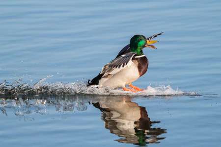 Male Mallard Duck Splashing Water as he Lands in a Lake Stockfoto