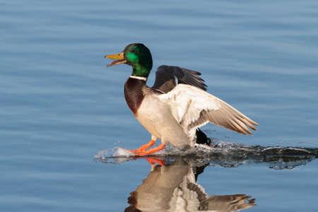 Mallard Drake making a smooth landing on clear blue water.