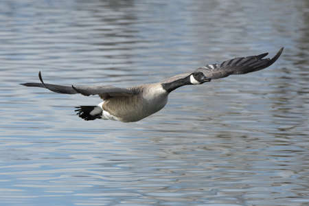Adult Canada Goose in Flight Above a Calm Lake
