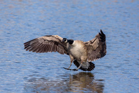 Adult Canada Goose Landing in a Calm Blue Water Lake