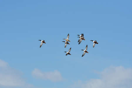 Flock of Northern Shoveler Ducks Flying in a Blue Sky with White Clouds Stockfoto