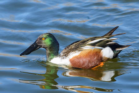 Male Northern Shoveler Duck Swimming in a Lake.