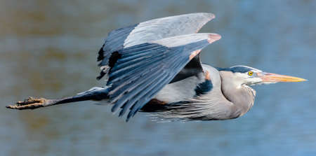 Great Blue Herons are large birds with wingspans up to six feet. The white species is more rare but can be found in Southern Florida.