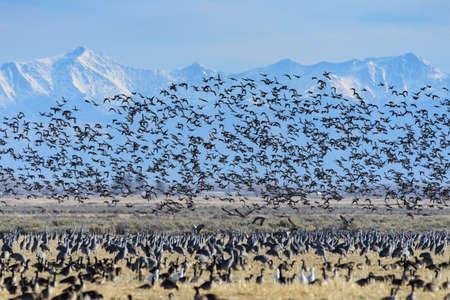 Mass Liftoff of a Flock of Sandhill Cranes Near Monte Vista, Colorado.