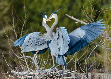 The Great Blue Heron is a large wading bird most commonly found near bodies of water. They can be found year-round in most of the continental United States. Stockfoto