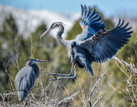 The male heron returns to the nest building female with a new stick