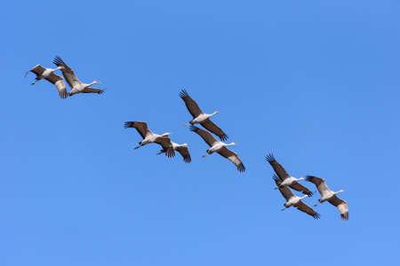 Group of Flying Sandhill Cranes Near Monte Vista, Colorado. Stockfoto
