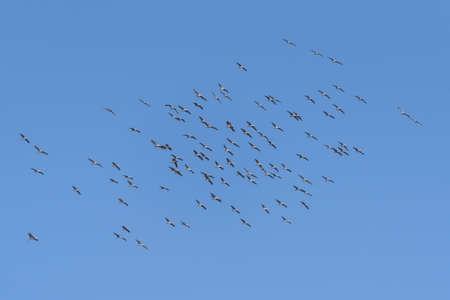 Large Flight of Sandhill Cranes Near Monte Vista, Colorado. Stockfoto