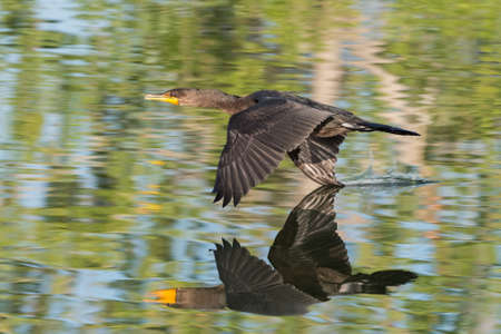 Double-Crested Cormorant in Flight With Wings Spread and Neutral Background
